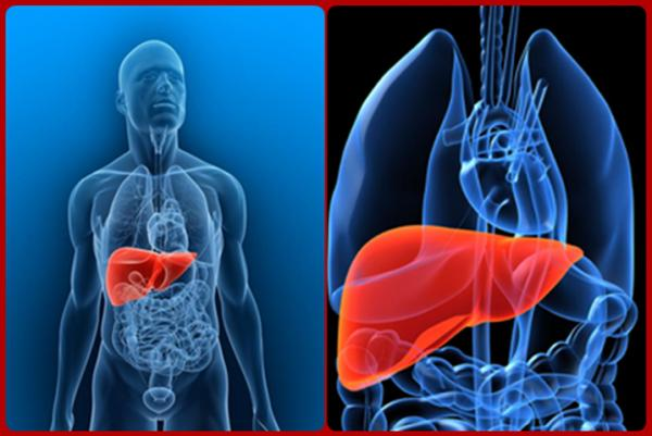 Localização anatômica do fígado no corpo humano